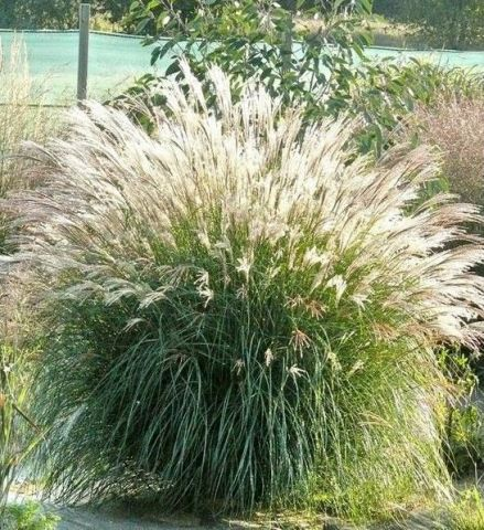 Miscanthus sinensis Adiago Hardy ornamental grass in a 17cm pot