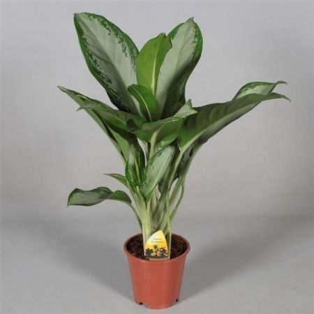 Aglaonema Cleopatra house plant in 17cm pot.  Chinese evergreen