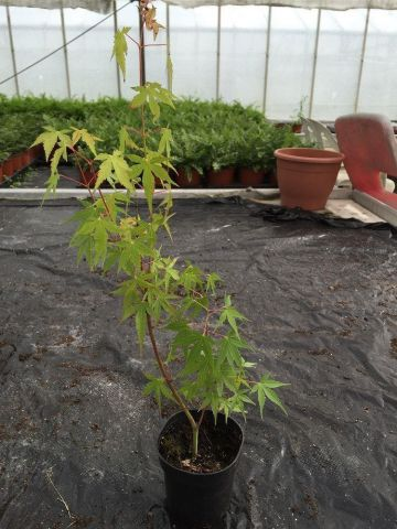 Acer palmatum Tree Starter Plant  in a 9/10cm Pot