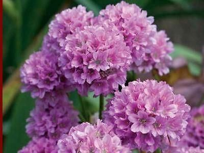 Armeria Ballerina Thrift Alpine plants in 9cm pots x 3. Choose colour