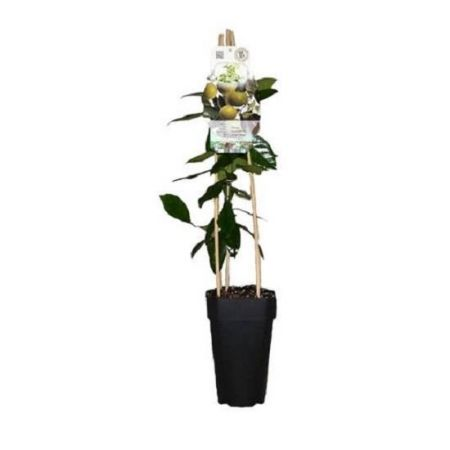 Key Lime Citrus Tree  in a 15cm Pot.  65cm in height.
