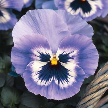 Viola Marina bedding plant 6 pack Garden Ready Plants.