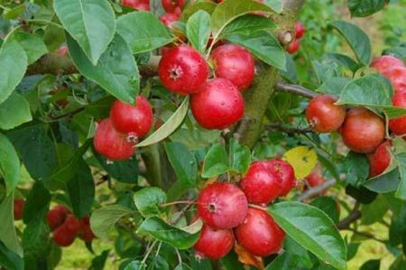 Malus Rosehip crab apple tree in a 12 Litre container