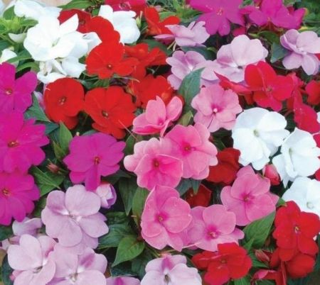 Bizzy Lizzy MIXED bedding plants. 6 pack of Garden Ready Plants. Impatiens