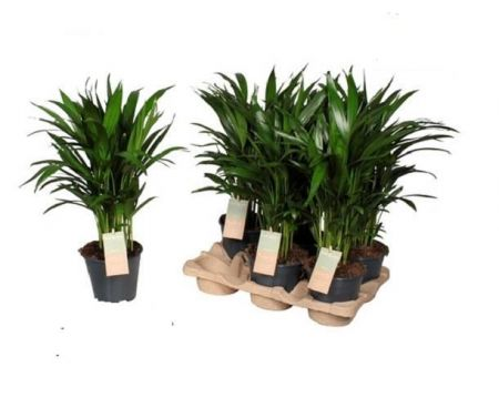 Areca Palm Butterfly palm house plant  Dypsis lutescens 14cm pot 50cm tall