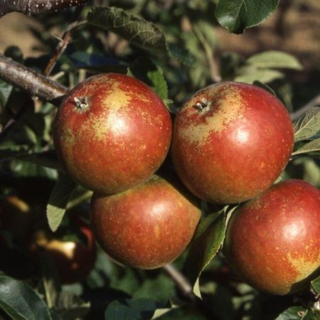 Apple (Malus) Cox Self Fertile in a 12L Container - Espalier form - Rootstock MM106