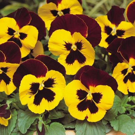 Pansy Yellow Red Wing Bedding Plant 6 Pack Garden Ready Plants