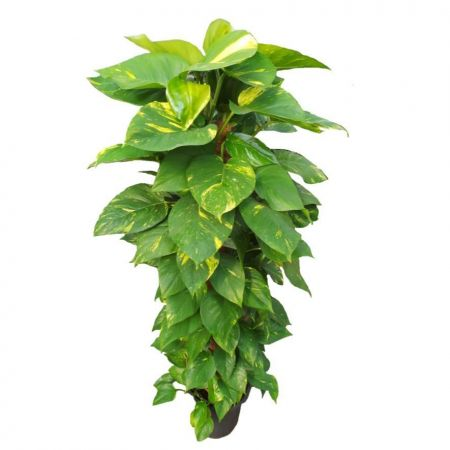 Scindapsus Devils Ivy large house plant with supporting pole. 120cm tall approx