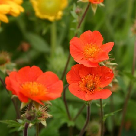 Geum Koi perennial plant with sunny flowers in a 13cm Pot