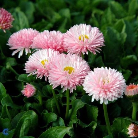 Bellis Strawberries & Cream Bedding Jumbo 6 Pack Garden Ready Plants.