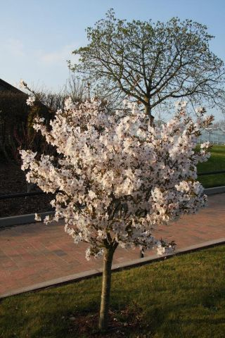 Prunus The Bride flowering cherry tree in a 11.5 Litre patio pot - Top worked at 45cm