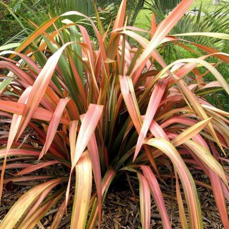 Phormium Flamingo architectural evergreen plant in a 19/20cm pot. Flax Lily.