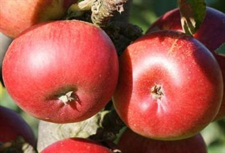 Apple (Malus) Ballerina Samba tree in a 12 Litre pot - Bush form - Rootstock MM106