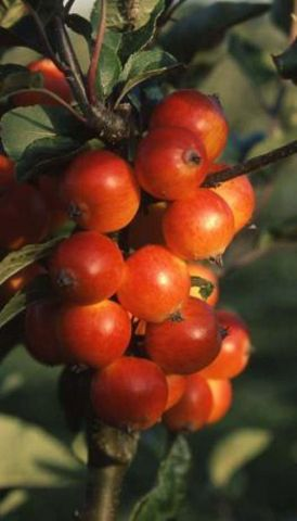 Malus Marble Nuvar crab apple tree in a 12 Litre container