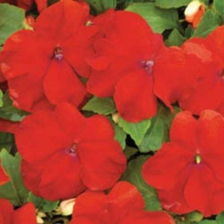 Bizzy Lizzy RED bedding plant VALUE 6 Pack Garden Ready Plants. Impatiens