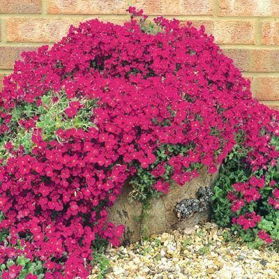 Aubrieta Red Plant in 13cm pots.  Many colours.  Great ground and wall cover
