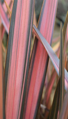 Phormium tenax Rainbow Sunrise Plant in a 19cm pot.