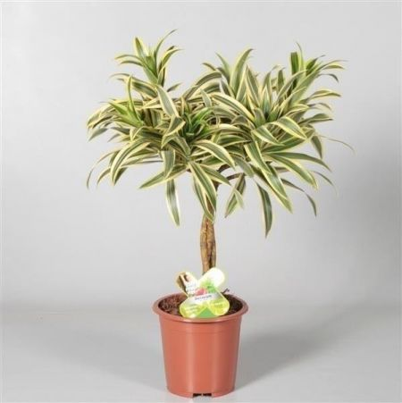Dracaena Song of India House Plant with Braided Stem in a 17cm Pot. 60cm in height approx.