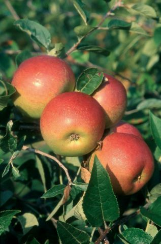Apple (Malus) Laxton's Superb tree in a 12L pot - Espalier - Rootstock MM106