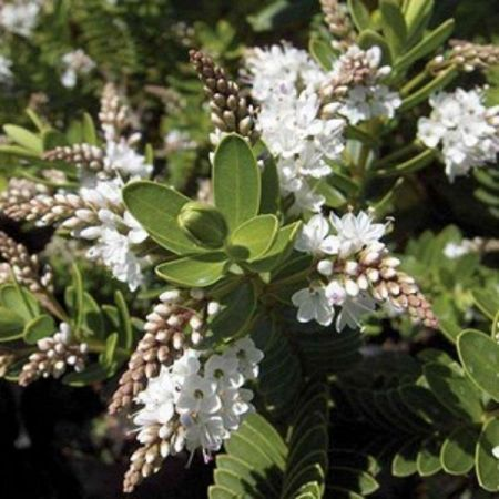 Hebe Wiri Mist Flowering Shrub Plant in a 19cm Pot