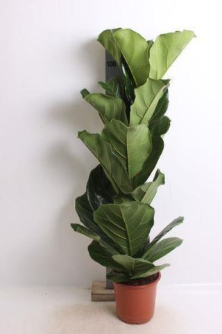 Ficus Lyrata house plant in 21cm pot.  90-100+cm tall. Fiddle leaf fig