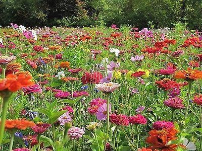 Throw 2 Grow Summer Picking Flower Meadow Seed Mix.  18 annual varieties[50g - 10 sqm]