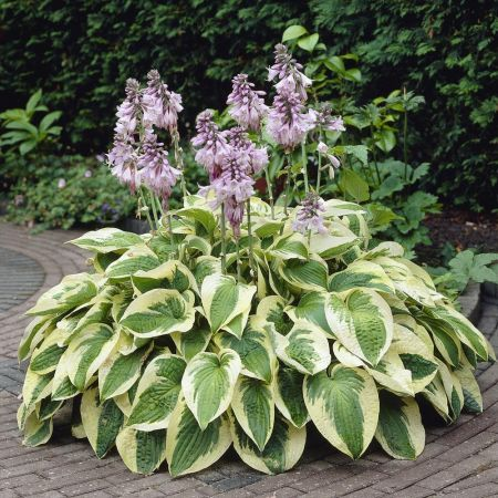Hosta Wide Brim Perennial Plant in a 17cm pot. RHS AGM Good for Shade