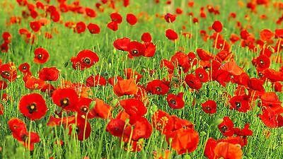 Field Poppy Seeds (Papaver Rhoeas). 2 grams 15000 seeds approx