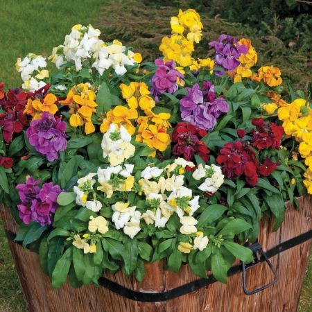 Wallflower Sugar Rush  Bedding Plant in a 13cm Pot x 3.  Mixed Colours