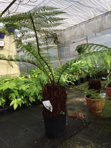 Tree Fern with a trunk size of around 30cm Overall Height approx 90 Dicksonia antarctica