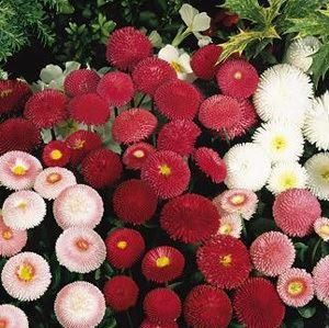 Bellis daisy flowers. 6 pack garden ready plants in mixed colours. Hardy perennials or annuals