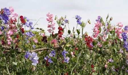 Perennial Sweet Pea Plants in a 13cm Pot Mixed Colours