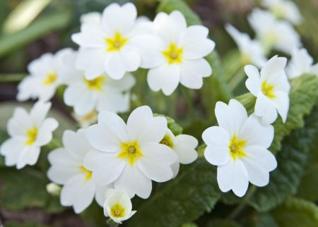 Primrose SNOW WHITE Plant Jumbo 6 Pack Garden Ready Plants