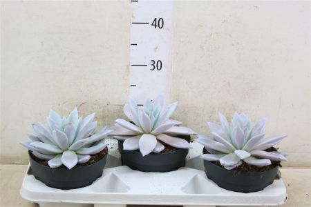 Echeveria Mexican Giant Succulent Plant in a 17cm Pot x 1