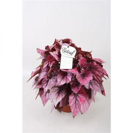 Begonia  Beleaf� Indian Summer Plant in a 12cm Pot