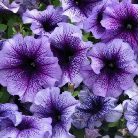 Petunia BLUE VEIN Bedding Plant 6 pack. DISCOUNTS for multiple purchases