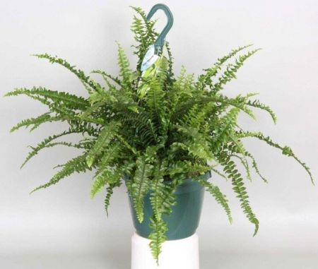 Nephrolepis exaltata Green Lady Fern Plant in 18cm Hanging Pot.  Indoor Fern