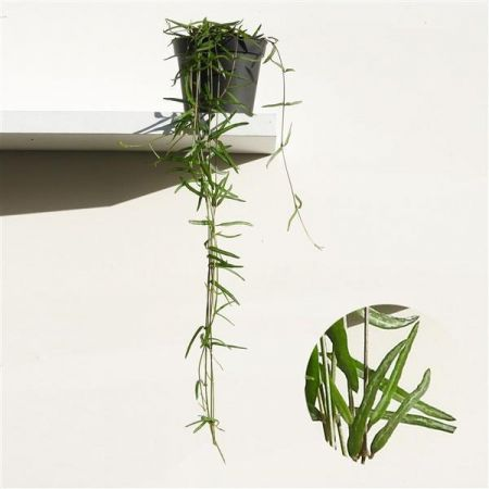 Ceropegia linearis String of Needles Plant Trailing Plant in a 8cm Pot