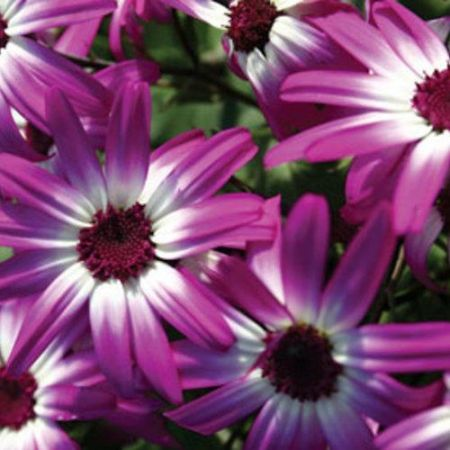 Cineraria Senetti MAGENTA BI-COLOUR plant in a 13cm pot