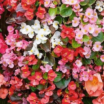 Wax Begonia semp. Organdy Mix bedding plants 6 pack DISCOUNTS for multiple purchases.