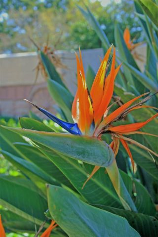 Bird of Paradise Plant in a 24cm Pot  Approx 100cm tall.  Strelitzia reginae