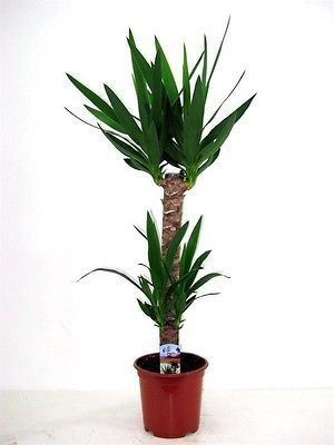 Yucca tree with 2 stems in a 20cm diameter pot. 110-120cm tall