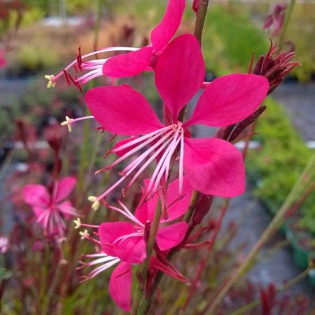 Gaura lindheimeri Whiskers Deep Rose Plant in a 13cm Pot.
