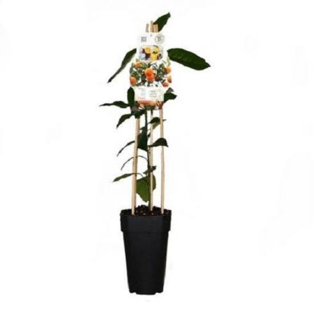 Orange Tree Citrus  in a 15cm Pot.  65cm in height.
