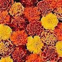 French Marigold Mixed Bedding plants 6 Pack Garden Ready Plants.