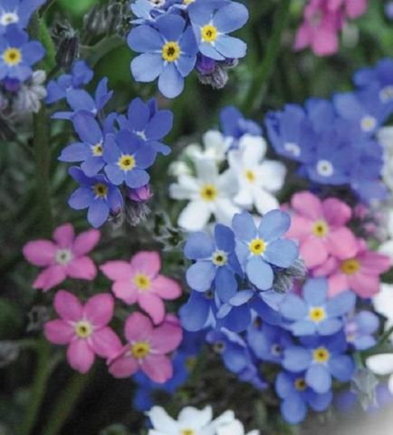 Forget me nots Mixed Colours (Myosotis) plant 6 Pack Garden Ready Plants.