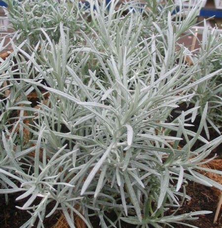 Curry Plant, Helichrysum italicum in a 10cm Pot.