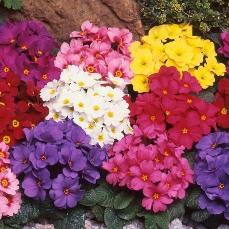 Primrose Wanda Dark Leaf Mix plants in 10cm pots x 3.  Hardy.