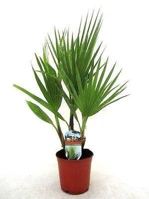 Washingtonia robusta house plant in a 14cm pot.  55cm tall.  Skyduster Palm