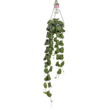 Dischidia platyphylla house plant in 14cm hanging pot. Highly unusual